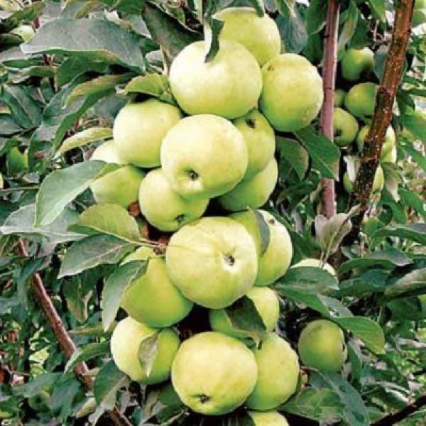 Сортовая колоновидная яблоня арбат
