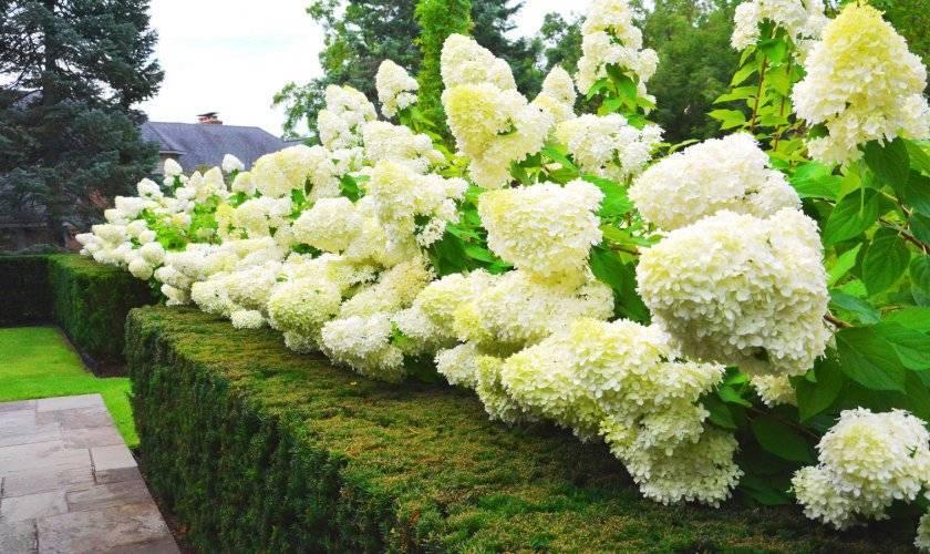Почему не цветет гортензия? почему гортензия только дает листву и что с этим делать? как добиться шикарного цветения в саду?