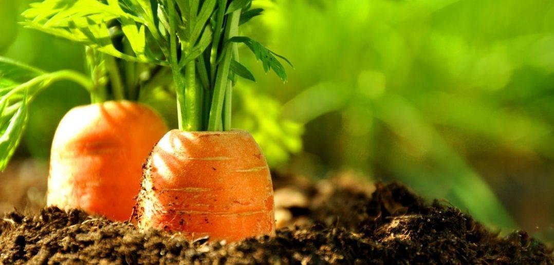 Посадка моркови – особенности и правила