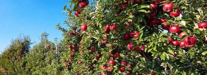 Сорта карликовых яблонь, описание и особенности выращивания