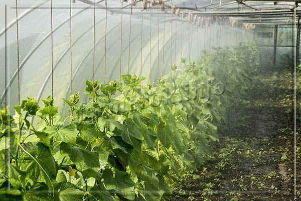 Сорт огурцов «парижский корнишон»: фото, видео, описание, посадка, характеристика, урожайность, отзывы