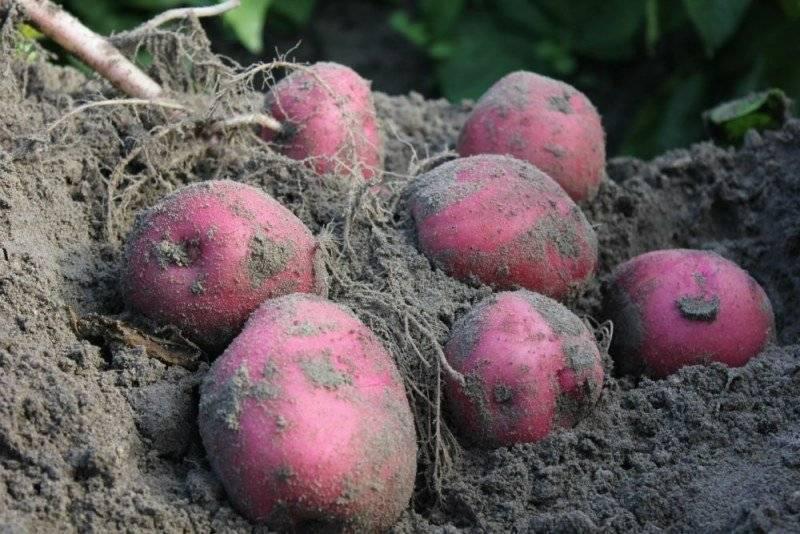 Картофель красавчик: описание сорта, фото, отзывы