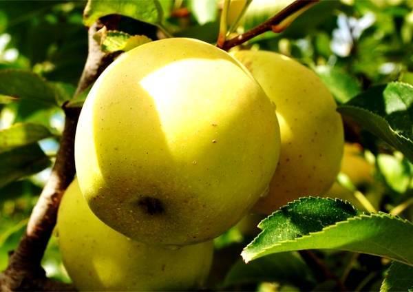Яблоня «голден делишес»: описание сорта, фото и отзывы