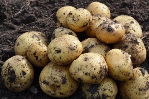 Темноплодная красавица родом с украины — описание сорта картофеля «смуглянка»