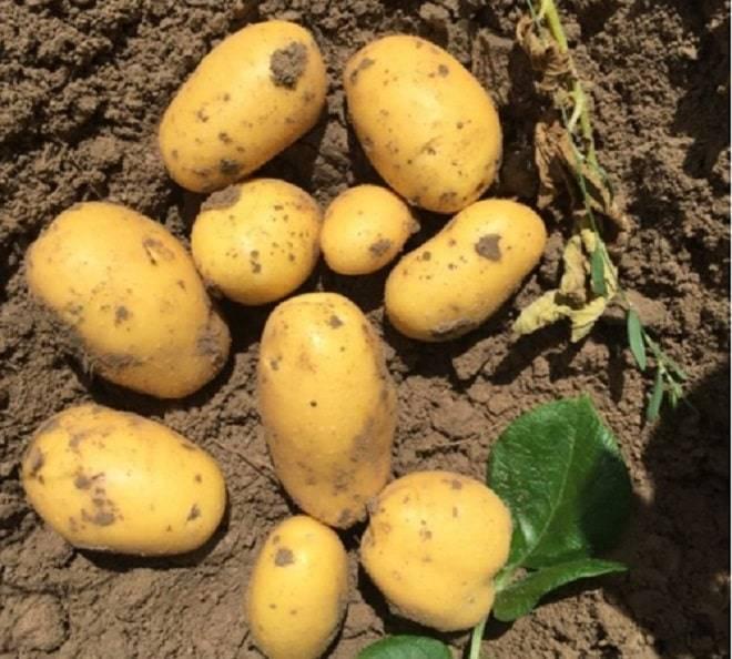 Описание картофеля красавчик: характеристики растения и клубней