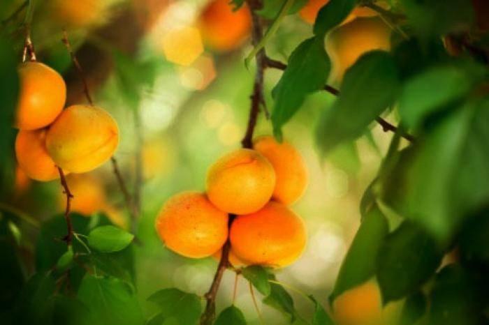 Что произойдет с вашим телом, если часто есть абрикосовые косточки? :: инфониак