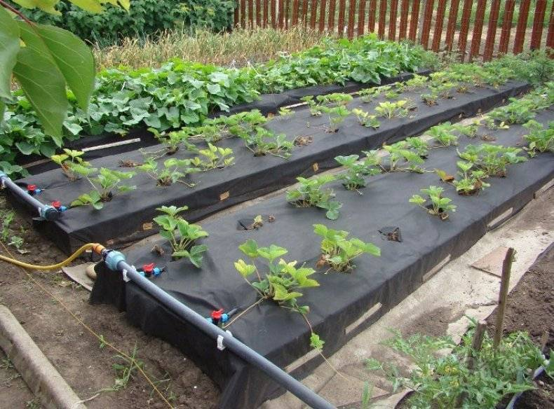 Агротехника посадки клубники на высокие грядки по финской технологии выращивания
