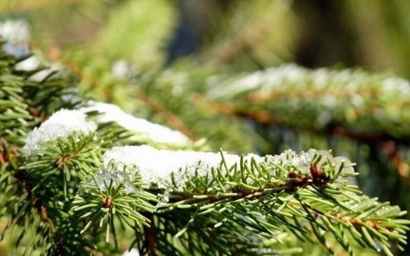 Какое дерево сбрасывает хвою на зиму? правда, что хвойные деревья сбрасывают на зиму иголки? хвойное дерево которое сбрасывает осенью хвою