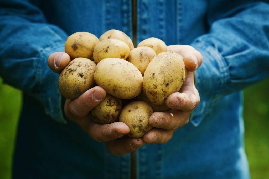 Картофель адретта — подарок от немцев изысканным гурманам