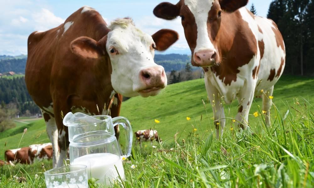 Как доить корову после отела