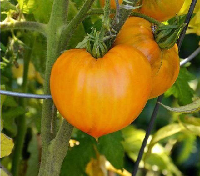 Томат немецкая красная клубника описание сорта, достоинства и недостатки, особенности выращивания