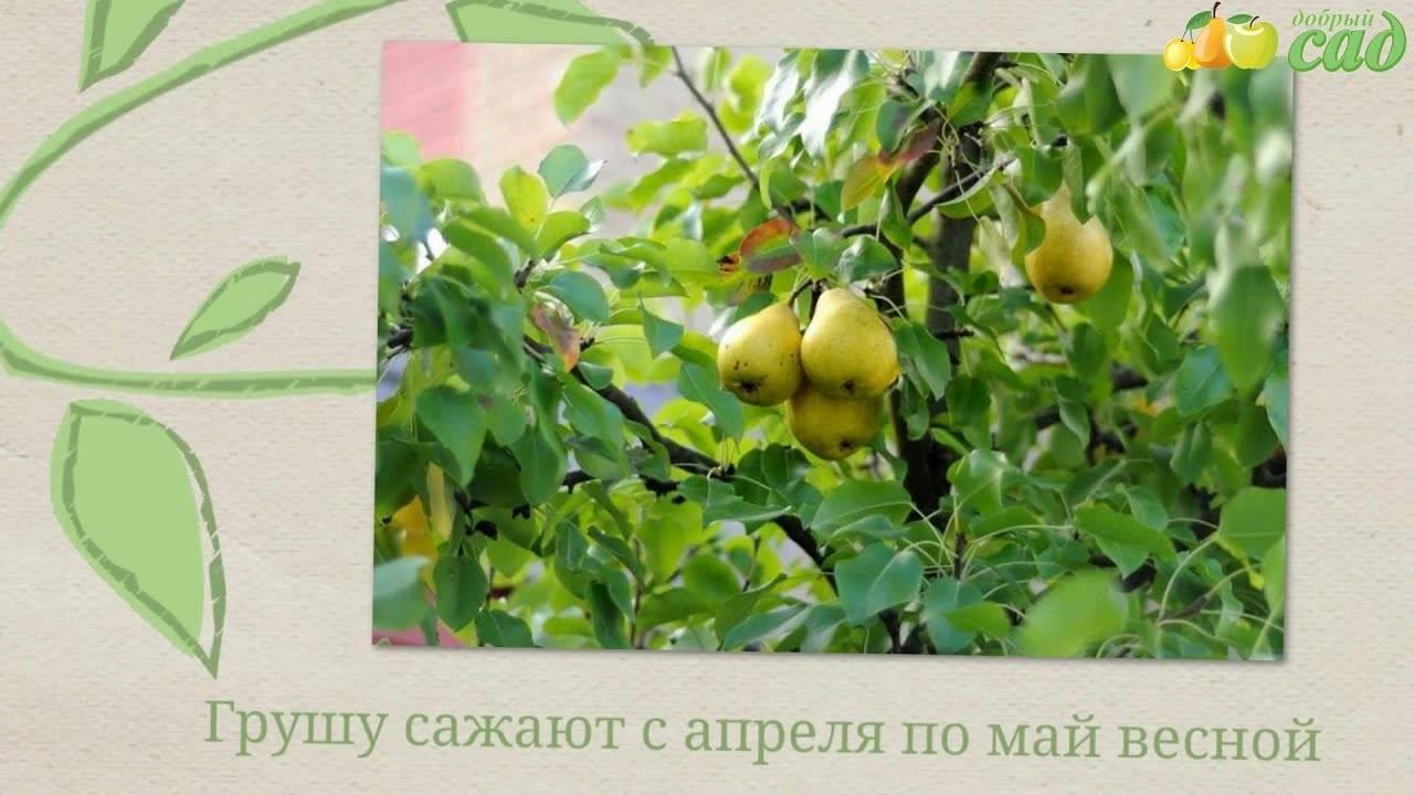 Когда сажать грушу? преимущества посадки весной и осенью