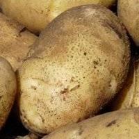 Надежный сорт картофеля зекура
