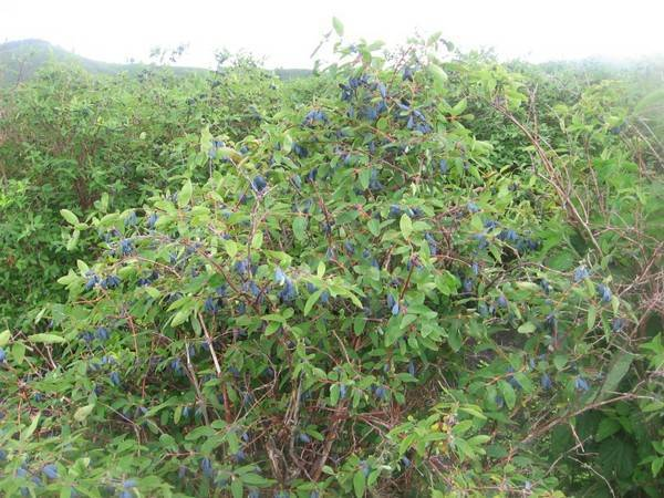 Жимолость голубой десерт: характеристика и особенности выращивания