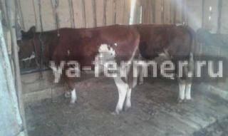 О кровяных выделениях у коровы после покрытия и кале с кровью у быка и теленка