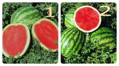 Особенности и секреты выращивания арбузов в сибири