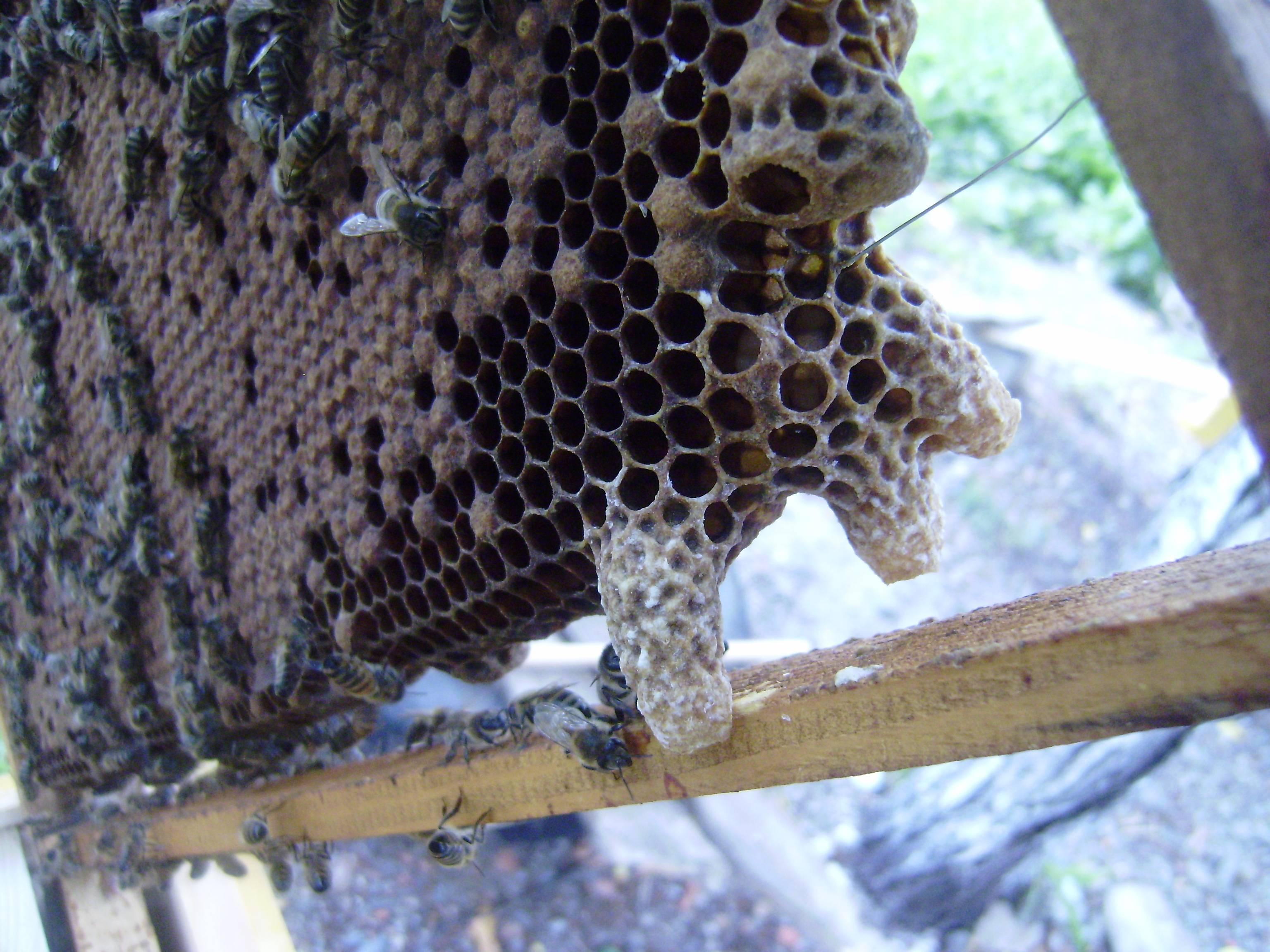 Какие матки пчел лучше