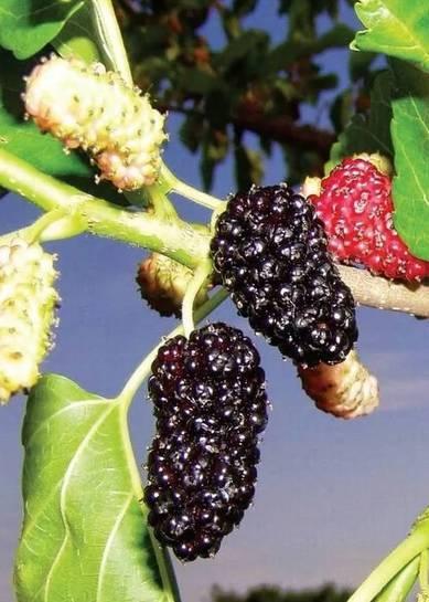 Сорта шелковицы и особенности их выращивания