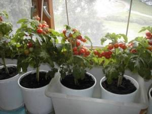 Описание, характеристика и выращивание сорта помидоров балконное чудо