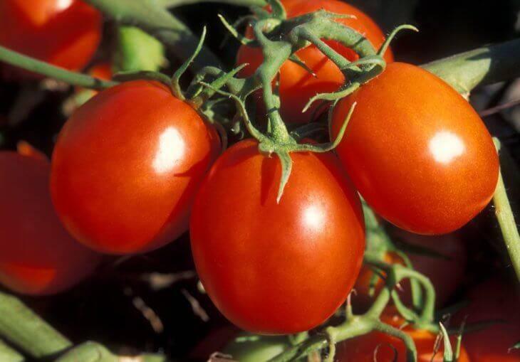 Томат грушовка: 7 особенностей и 12 советов по выращиванию и уходу