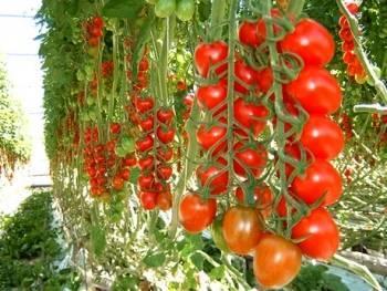 Можно ли сажать помидоры для открытого грунта в теплицу: чем отличаются сорта томатов для улицы, стоит или нет выращивать их в парнике и как нужно за ними ухаживать?