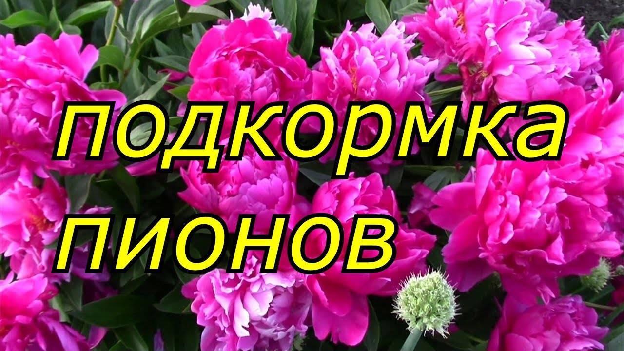 Чем подкормить пион для пышного цветения
