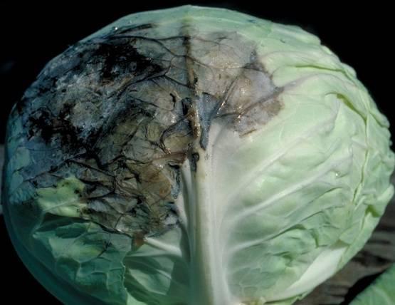 Борьба с болезнями капусты эффективными средствами