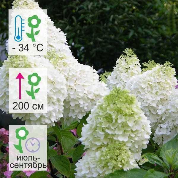 Гортензия сорта мэджикал флейм — описание и особенности выращивания