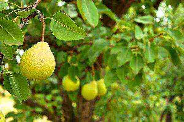 Правила и особенности посадки груши весной в разных регионах россии