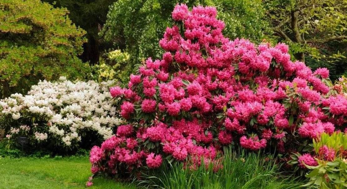 Рододендрон листопадный: сорта, посадка и уход