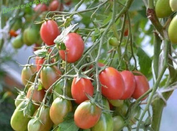Томат чио чио сан: описание сорта, отзывы, фото, урожайность