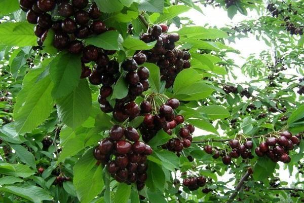Черешня тютчевка: холодостойкий сорт с вкусными плодами