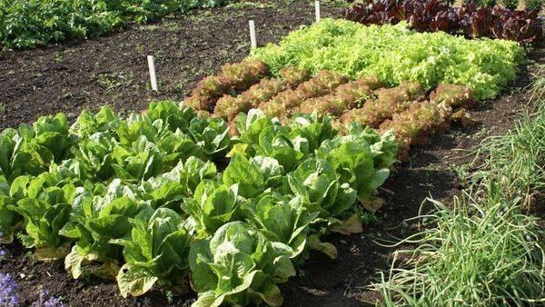 Совместимость овощных культур на грядках: секреты богатого урожая