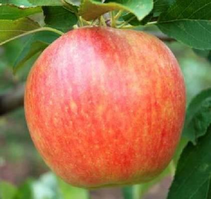 Яблоня чемпион – 8 особенностей и 10 советов по посадке и выращиванию