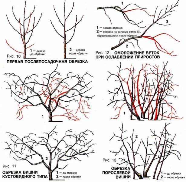 Схема обрезки жимолости весной
