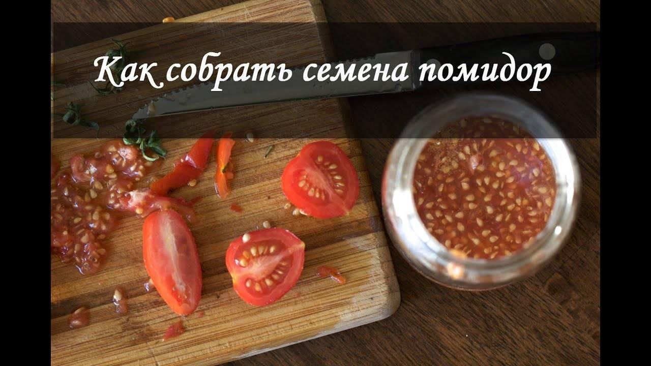 Как правильно собрать и сохранить семена помидоров для посадки