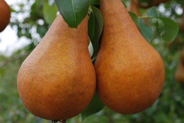 Подкормка груши весной и в другие сезоны, лучшие удобрения для дерева
