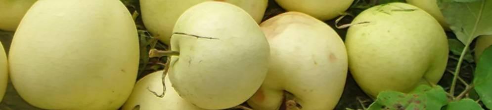Белый налив и другие разновидности наливных яблок: советы по выращиванию