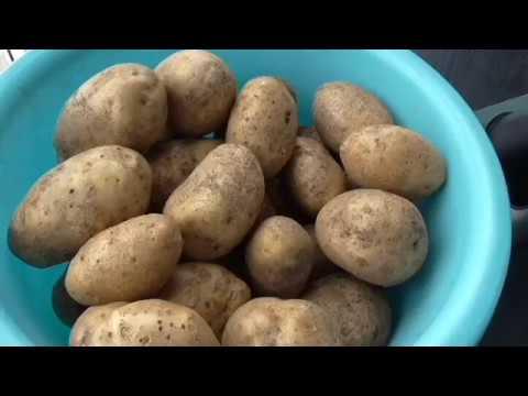 Картофель тулеевский описание сорта, фото