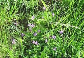 Лечебные свойства астрагала шерстистоцветкового