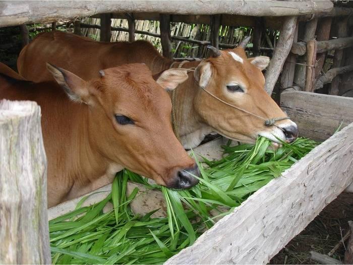 Стимуляторы роста для крупнорогатого скота: самые эффективные средства, правила применения, безопасность препаратов