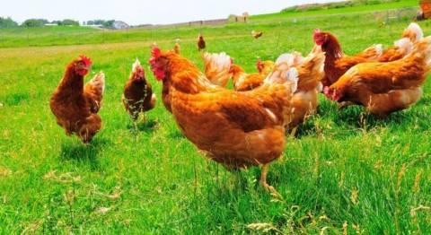 Обзор цветных бройлерных кроссов: высокая мясная продуктивность и хорошие показатели яйценоскости. популярные разновидности, особенности разведения, отзывы