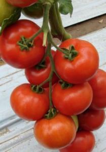 Голландские сорта томатов для открытого грунта