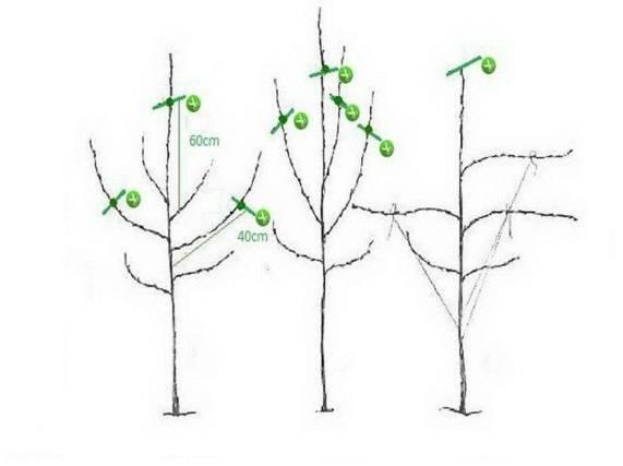 Обрезка яблони весной для начинающих: когда и как правильно ее делать