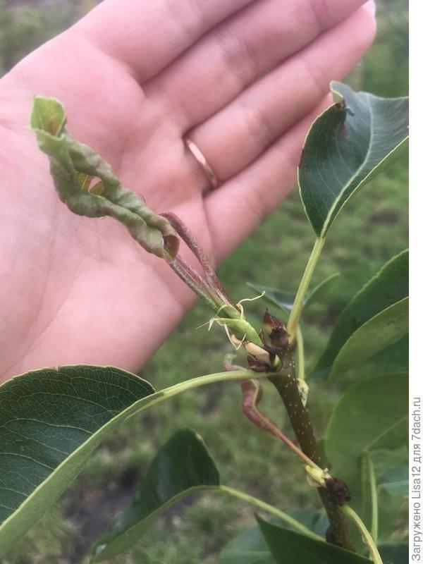 Почему у груши скручиваются листья в трубочку