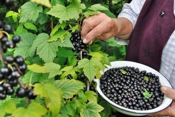Когда созревает смородина: ягодный календарь 2019 года. советы по выбору времени для посадки и выращивания смородины (видео + 70 фото)