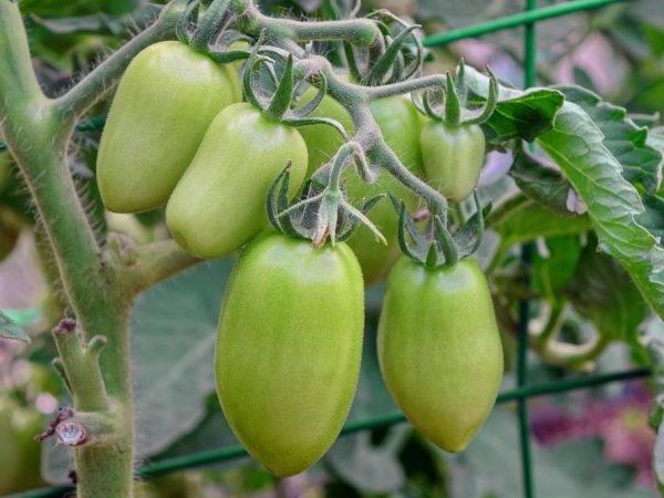 Помидоры «царское искушение»: описание, агротехника выращивания