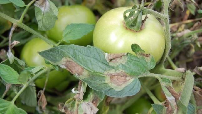 Медная проволока — защита томатов от фитофторы