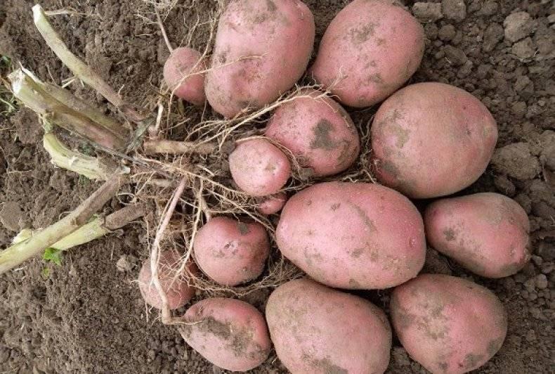"""Картофель """"кураж"""": описание сорта, фото и подробная характеристика"""