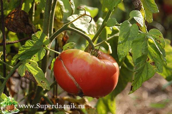 Вредители томатов в теплице + фото